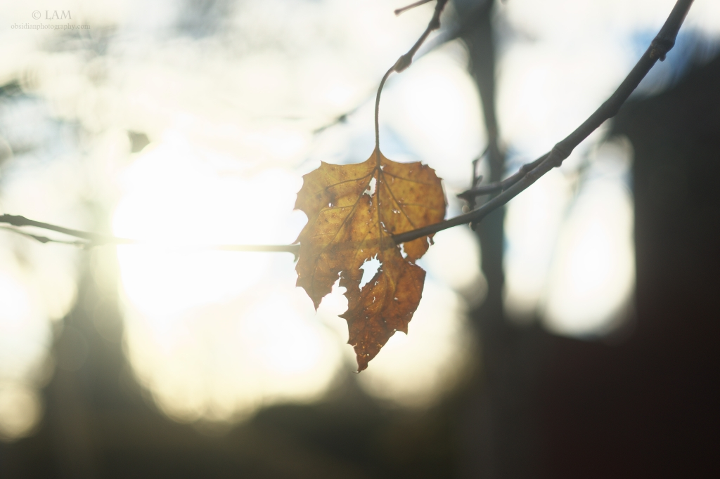 A single dried leaf hangs from a limb but is caught on another branch backlit in the evening sun.