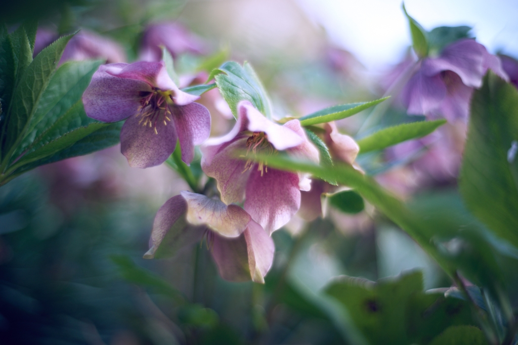 Hellebores with a blurred background and a blade of grass partially shielding one bloom
